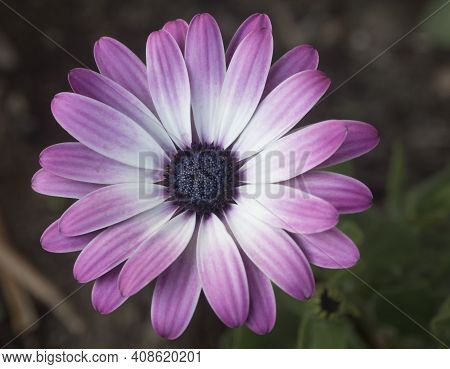 Close Up Of Cape Marguerite, Dimorphotheca Ecklonis Pink Flower, Single Macro Perfect Flower Van Sta