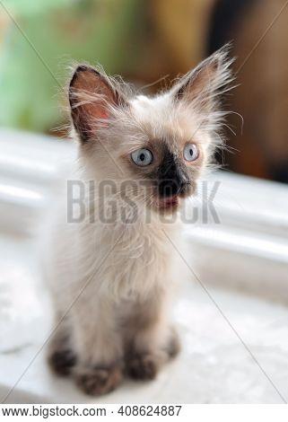 Cute Little Kitten With Big Ears Meows On The Windowsill