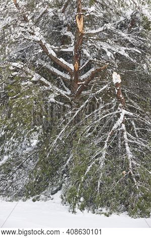 Pine Tree Branches Damaged By A Snowstorm. Winter Snowy Weather