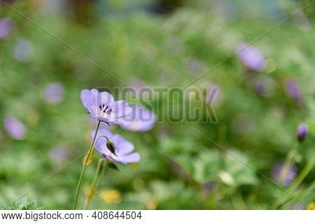Pretty Geranium Sylvaticum Enjoy Flowering In Garden Or Common Name As Wood Cranesbill Or Woodland G
