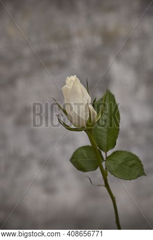 Delicate White Rose With Green Leaves On A Long Stem On A Gray Background