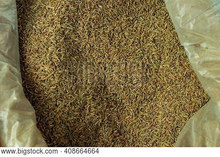 Cumin Or Cuminum Cyminum Is A Flowering Plant In The Family Apiaceae, Cumin Is A Spice Made From The