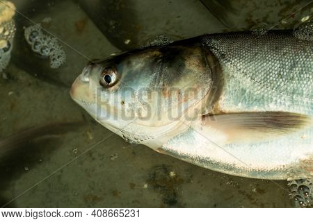 Hypophthalmichthys Molitrix Or The Silver Carp Is A Species Of Freshwater Cyprinid Fish, A Variety O