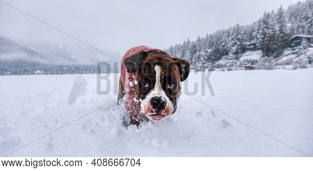 Adorable Boxer Dog Playing In A Snow Covered Frozen Lake During Winter Time. Alta Lake, Whistler, Br