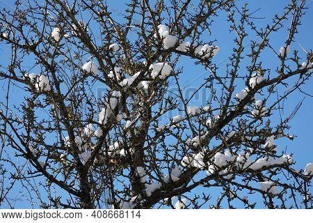 White Clumps Of Snow Stuck On Tree Branches