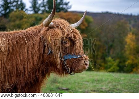 Long-haired Brown Longhorn Highland Cattle On Meadow In Hessen, Germany