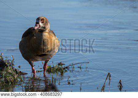 Egyptian Goose, Nilgans, Nil-gans, Alopochen Aegyptiacus