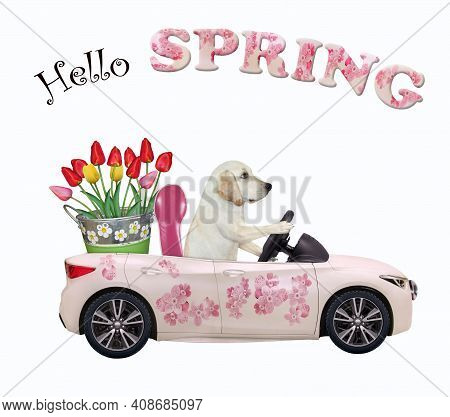 A Dog Labrador Drives A Car Painted With Pink Flowers With A Pail Of Tulips. Hello Spring. White Bac