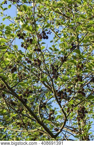 Alder Tree With Cones And Green Leaves.