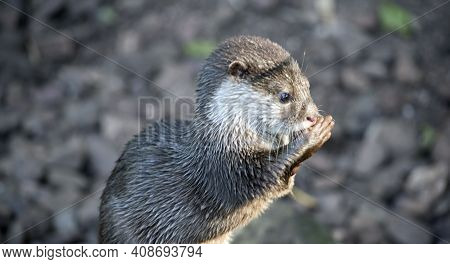 The Asian Small-clawed Otter Is Standing Up, It Looks Like He Is Preying