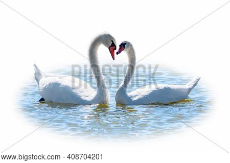 Two Graceful White Swans Swimming In The Lake, Isolated On White Background. Mating Games Of A Pair