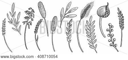 Vector Drawing Floral Elements, Twigs And Spikelets, Hand Drawn Illustration