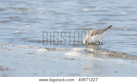 Sanderling (calidris Alba) Searching For Food
