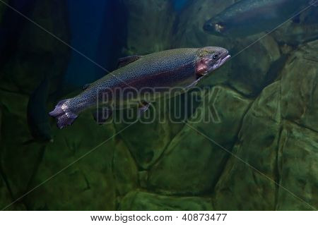 Rainbow Trout Or Salmon Trout (oncorhynchus Mykiss) Close-up Underwater