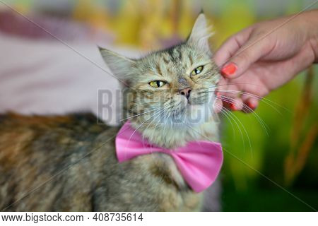 Man Woman Petting Stroking Tabby Cat With A Pink Bow Tie By Hand. Relationship Of Owner And Domestic