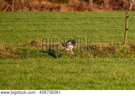 Large Bird Of Prey Flies Above A Ditch In A Meadow And Hunts For Food. Shadow On Grass. Majestic Bro