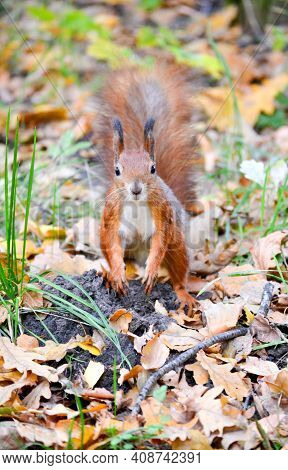 Squirrel Standing On Autumn Dry Leaves With Brown Coa