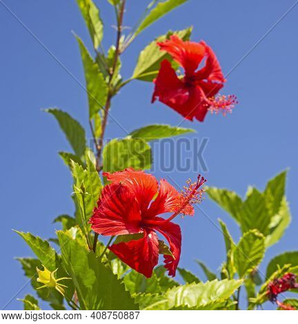 Close-up Detail Of A Red Hibiscus Rosa Sinensis Flower Petals And Stigma In Garden