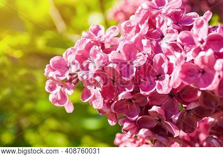 Flower background,lilac flowers,spring flower background, spring flower garden,lilac flowers in blossom,flowers in the garden,flower landscape,flower nature,natural lilac flowers,pink lilac flowers