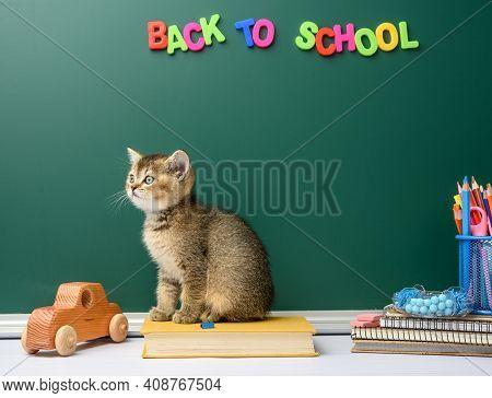 Cute Kitten Scottish Golden Chinchilla Straight Sitting, Background Of Green Chalk Board And Station