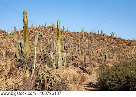 Plethora Of Cardon Or Elephant Cactus Pachycereus Pringlei In Baja California, Mexico