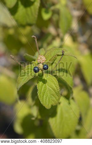 Shrub Verbena Flower Buds And Fruit - Latin Name - Lantana Camara