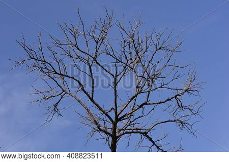 Mop Headed Black Locust Bare Branches Against Blue Sky - Latin Name - Robinia Pseudoacacia Umbraculi