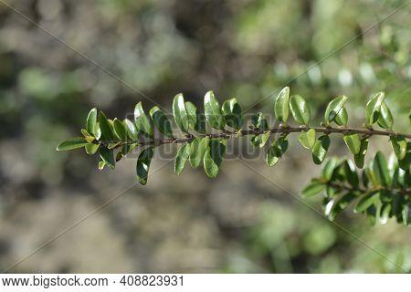 Box-leaved Honeysuckle Branch - Latin Name - Lonicera Ligustrina Var. Pileata (lonicera Pileata)