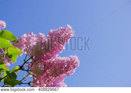 View On The Pink Flowers Of The Lilac - With Space For Text Or Other Ideas.lilac Branches On A Backg