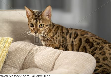Portrait Of A Bengal Cat Peeking Out From Behind The Back Of A Sofa, Close-up, Selective Focus 3.