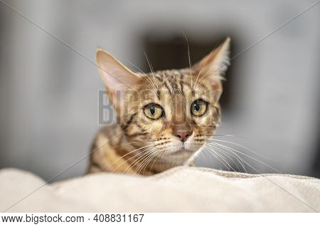 A Bengal Cat Scaredly Peeks Out From Behind The Back Of The Sofa 1.