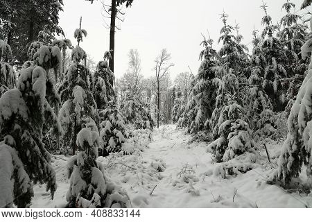 Winter Forest. The Spruce Trees Bend Under The Weight Of The Fallen Snow.