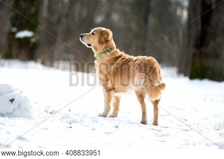 Golden retriever dog playing outside in winter day with snow. Dog walking in frosty forest