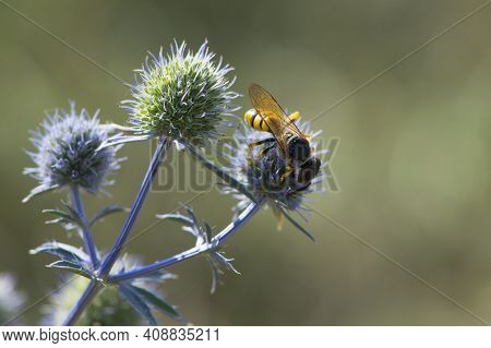 A Wasp Sits On A Blue Field Plant Eringium. Polistes Dominula, Also Known As The European Paper Wasp