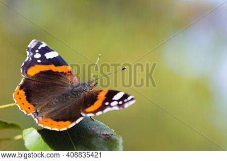 Large Beautiful Butterfly On A Green Leaf, Close-up. Red Admiral Butterfly Vanessa Atalanta, Resting