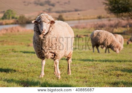 One sheep staring while the flock is feeding on a green grass field poster