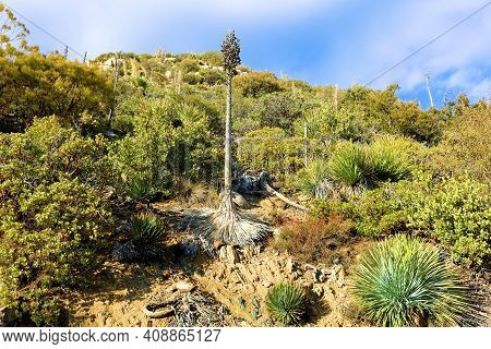 Rural Hillside Covered With Chaparral Shrubs Including Yucca Plants Taken At A Chaparral Woodland In