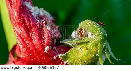 A Very Small Black Ant Eats Nectar On A Red Petal. A Sick Hibiscus Flower With Some Ants Eating On I
