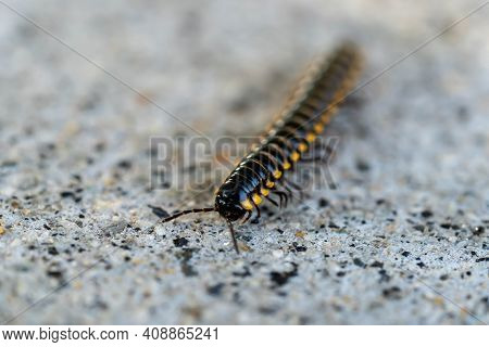 Mating Millipede,millipede Walking On Ground. Macro Shot Of Millipede