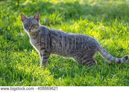A Stray Cat Stands On A Green Lawn In The Beautiful Light Of The Sunset. Stray Cat Gray Color On The