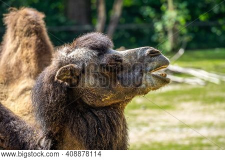 The Bactrian Camels, Camelus Bactrianus Is A Large, Even-toed Ungulate Native To The Steppes Of Cent