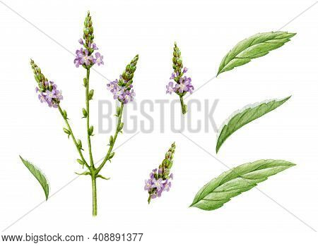 Verbena Organic Herb Watercolor Set. Hand Drawn Vervain Plant Collection. Purple Natural Organic Flo
