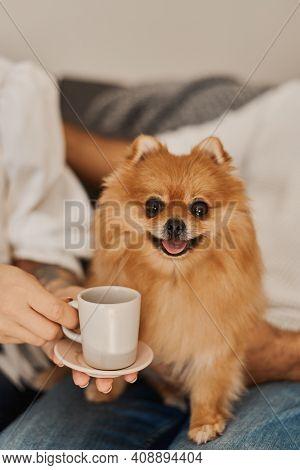 Funny Pomeranian Dog And A Cup Of Coffee. Pomeranian Spitz