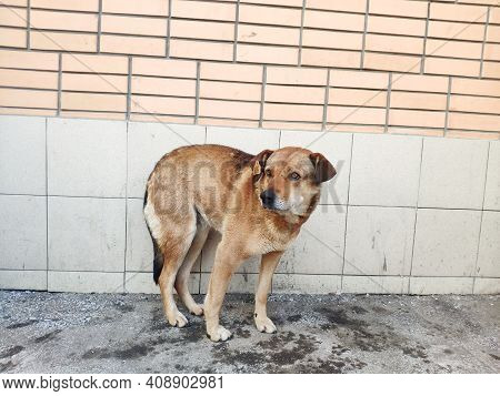 Stray Mongrel Dog With A Tag In Its Ear. The Tag Indicates That The Animal Has Been Spayed. State Pr