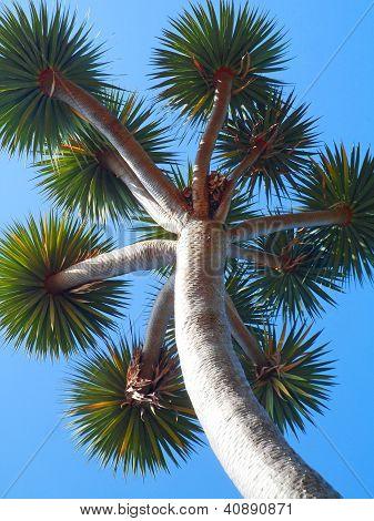 Yucca Palm Tree
