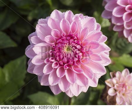 Closeup Macro Of Vibrant Pink Dahlia Flower In Full Bloom With Morning Dew Drops, Selective Focus
