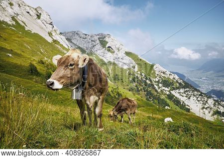 Cows With Bell Grazing Against Valley And Mountains. Beautiful Landscape Under Mount Pilatus.  Lucer