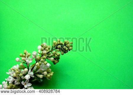 Lilac. A Branch Of White Lilac On A Green Background. Lilac Blooming View From Above. Spring, Plants