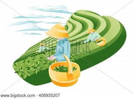 Women Picking Tea On Terraced Fields In Asia. Traditional Agriculture. Green Horizontal Landscape