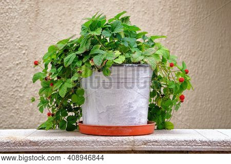 Pot With Bush Of With Green Leaves And Berries For Landscape Design. Strawberry Bush With Red Berrie